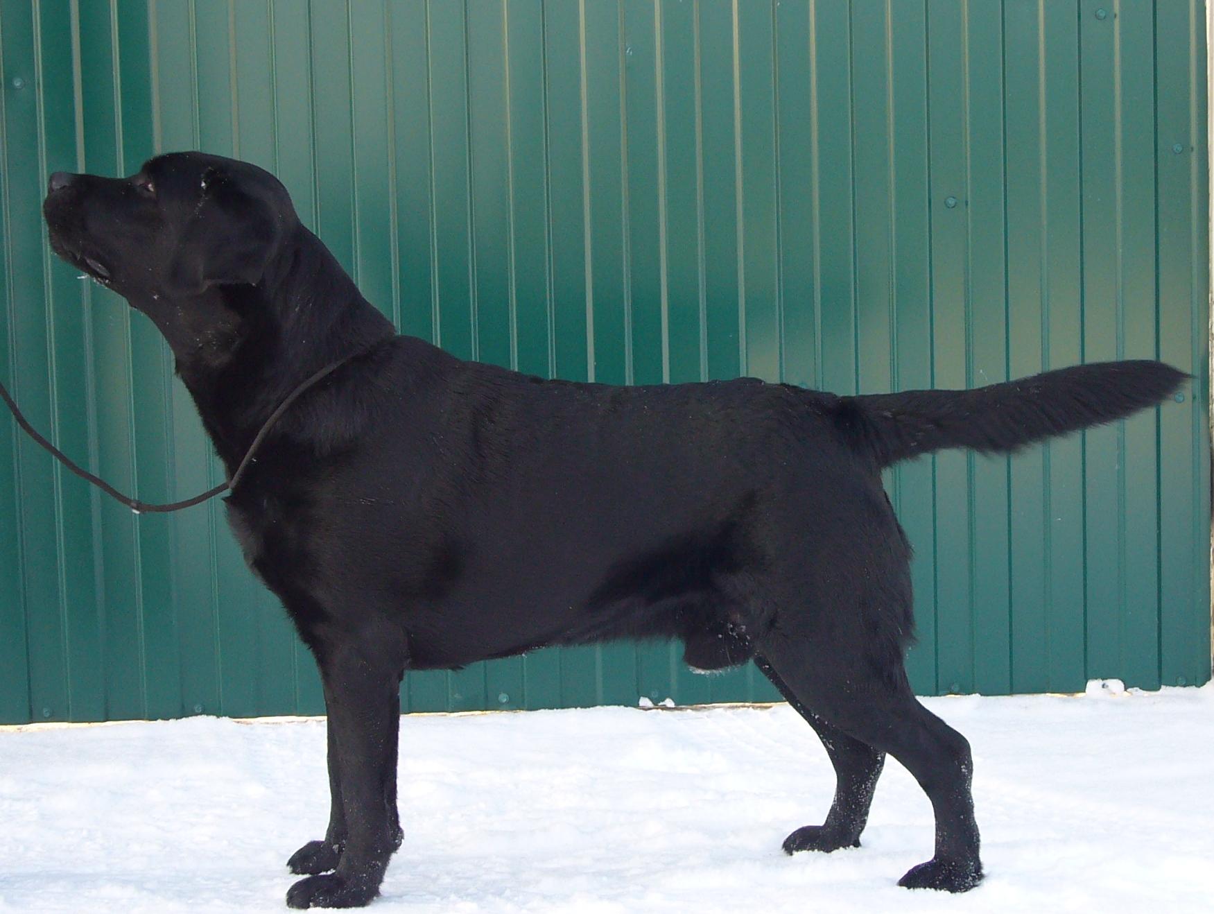 щенок лабрадор черный фото