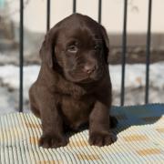 Шоколадные щенки лабрадора. Родились 21.01.2017