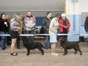 """лабрадор фото на выставке """"Зимний каприз - 2012"""""""