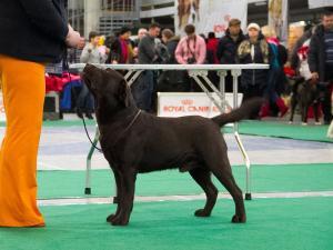 Шоколадные и черные щенки лабрадора. Родились 14.02.2017